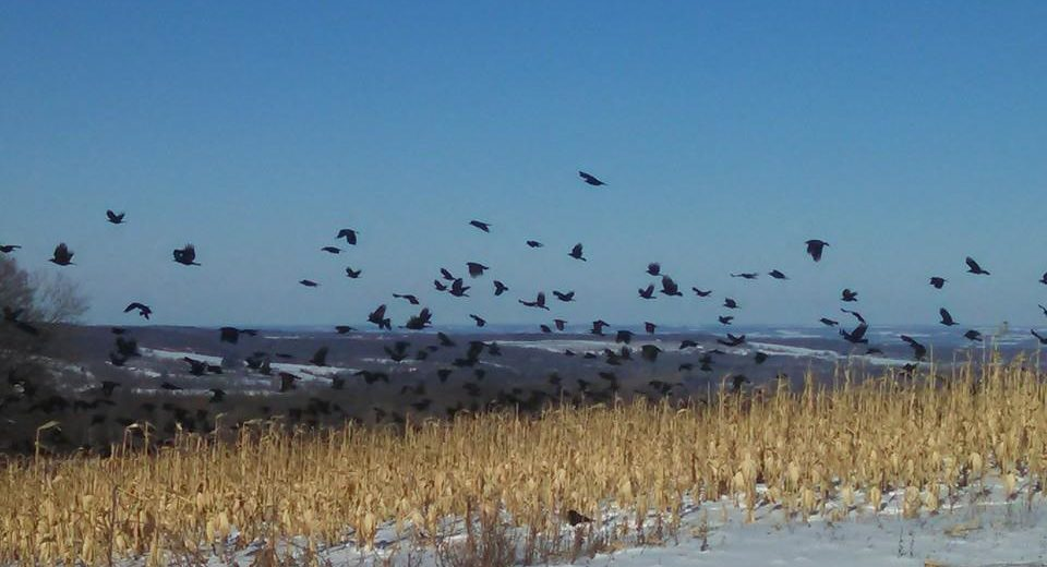 The Crow Report : Part 7 – On A Black Wing & A Whistled Prayer